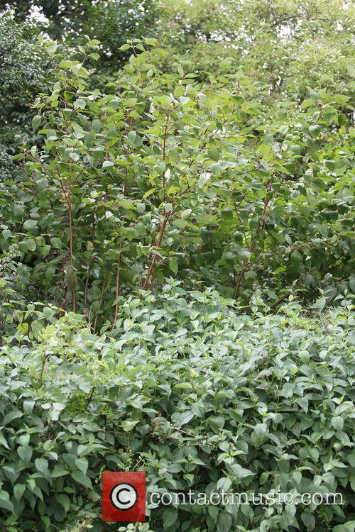 Japanese Knotweed growing in Primrose Hill