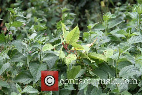 Japanese Knotweed and Primrose Hill 5