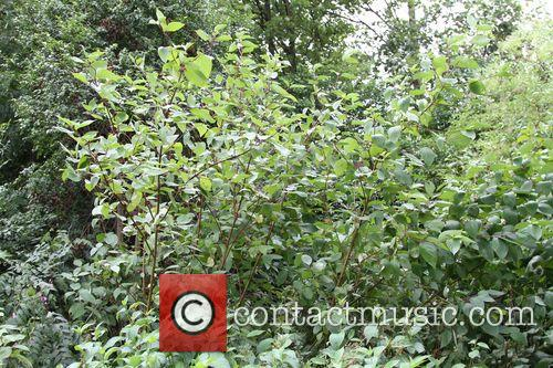 Japanese Knotweed and Primrose Hill 8