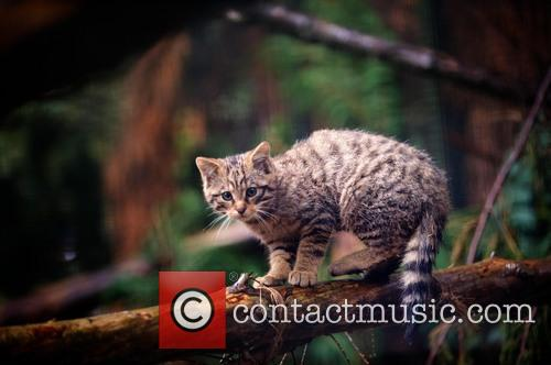 More Puuurr-fect Highland Kittens