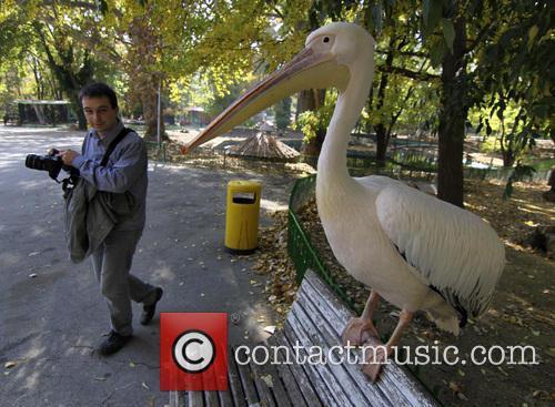 Gruio the Pelican escapes!
