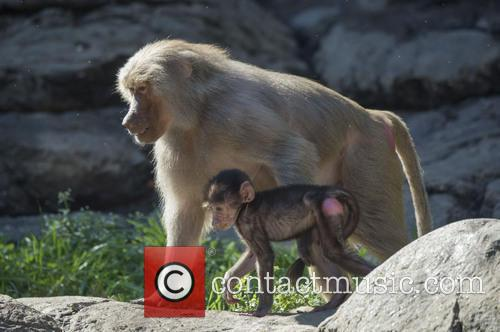 Two young Hamadryas baboons spend time with their...