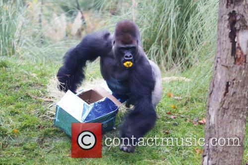 ZSL London Zoo's silverback gorilla celebrates his sweet...