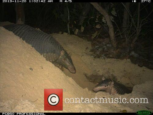 New giant armadillo behaviours caught on camera and...