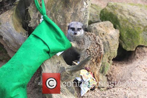 Merry meerkats hang up their stockings