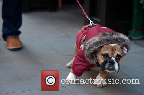 English Bulldog pup
