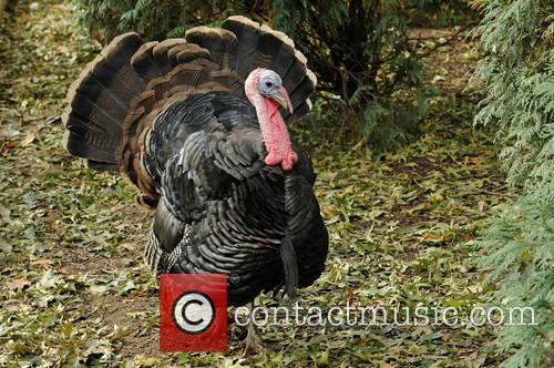 Franklin the wild turkey happily struts at the...