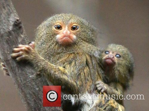 Pygmy Marmoset Twins Birth