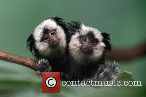 Two young Geoffroy's marmosets perch on a branch...