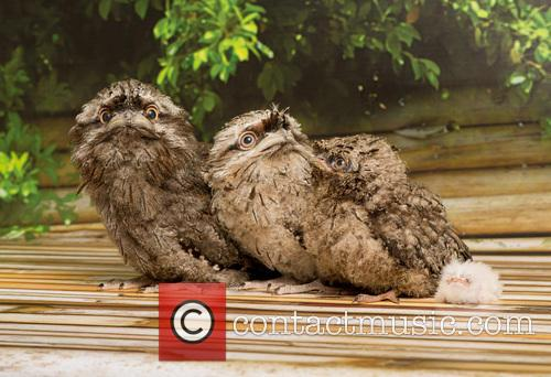 Tawny Frogmouth Chicks 2