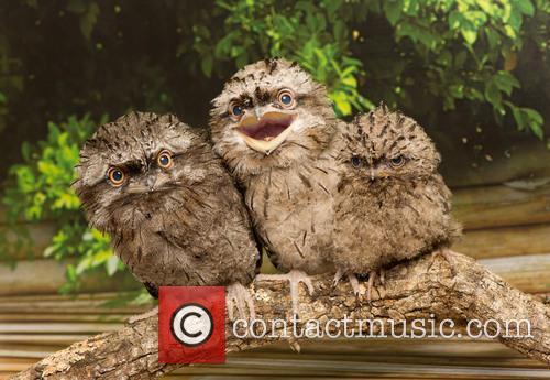 Tawny Frogmouth Chicks 3