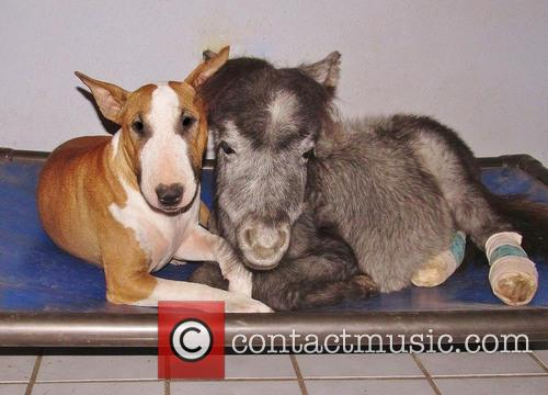 Rocky, Bazinga The Miniature Horse and Butterbean The Bull Terrier 4