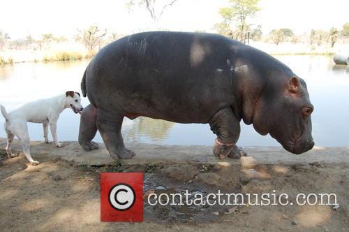Douglas the hippo