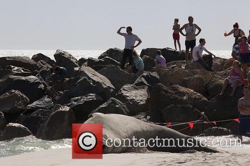 Elephant seal sunbathes on Perth beach