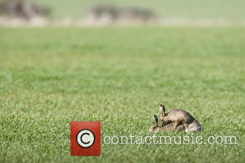 Brown Hare and Lepus 2