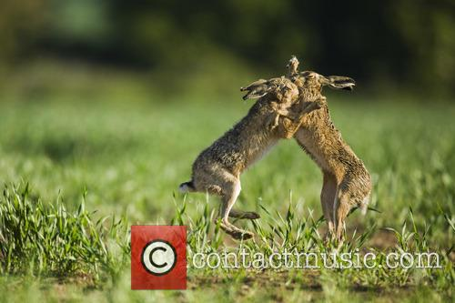 Brown Hare and Lepus 3