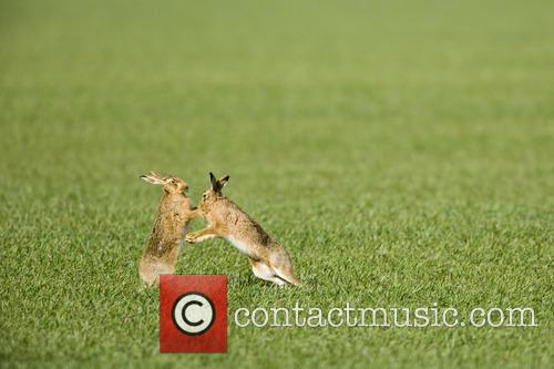 Brown Hare and Lepus 1