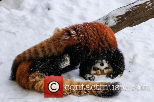 Red Panda Ruck 2