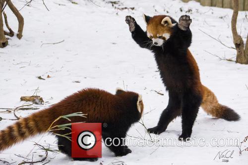 Red Panda Ruck 4