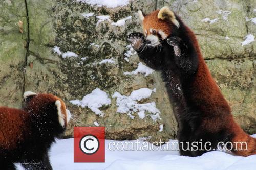 Red Panda Ruck 6