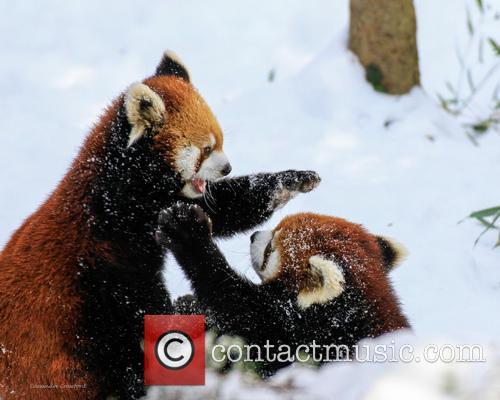 Red Panda Ruck 7