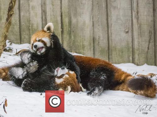 Red Panda Ruck 8