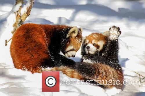 Red Panda Ruck 9
