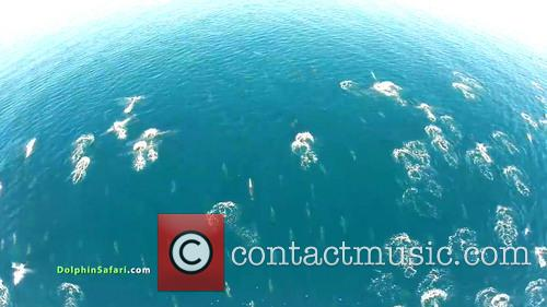 Dolphin Stampede and Whale Migration Filmed by Drone
