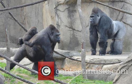 Baby Gorilla Introduction and Cincinnati Zoo 2