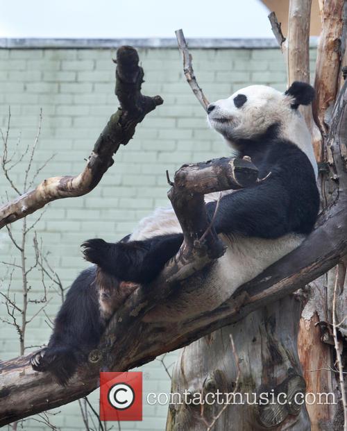 Giant Panda Breeding Season Update