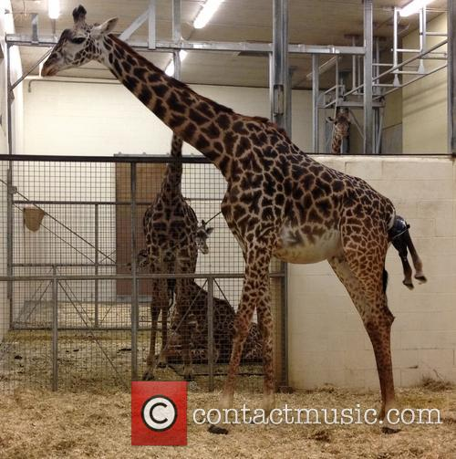 Giraffe Birth at Cincinnati Zoo