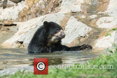 Bouba, a young Andean bear, goes for a...