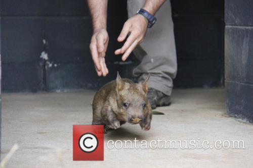 Wombat Birth at Taronga Zoo