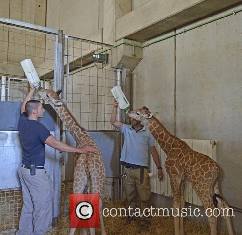Newborn Baringo Giraffe Calf Feeding Time