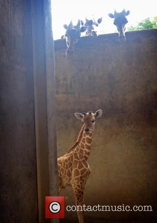 Giraffe Born at Memphis Zoo