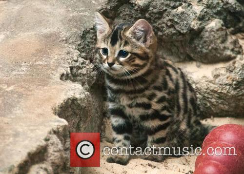 Three Black-Footed Cat Kittens Born At Philadelphia Zoo