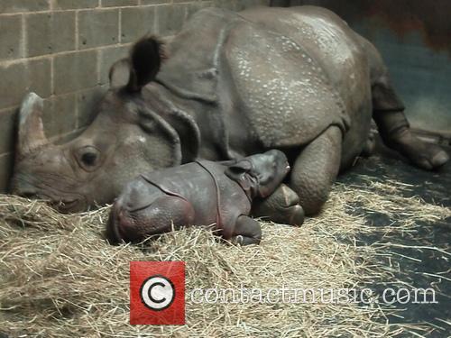 Deceased Rhino Dad Posthumous Birth