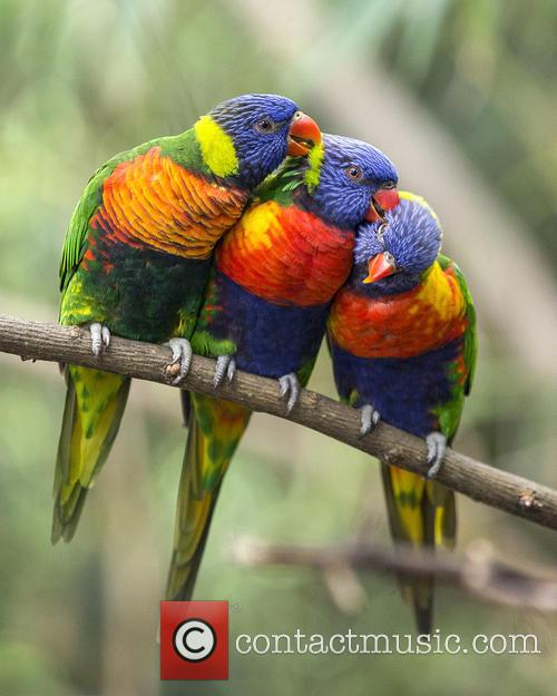 Rainbow Lorikeets Preening