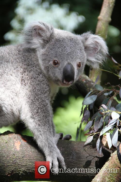 Edinburgh Zoo koala Yooranah enjoys the sunshine