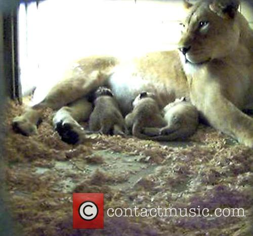 Four lion cubs born at Philadelphia Zoo