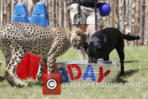 Cheetah and Labrador Joint Birthday Bash 2