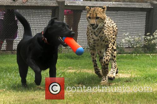 Cheetah and Labrador Joint Birthday Bash 3
