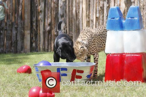 Cheetah and Labrador Joint Birthday Bash 4