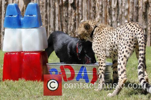 Cheetah and Labrador Joint Birthday Bash 6