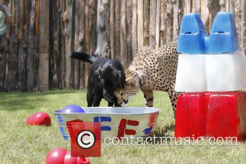 Cheetah and Labrador Joint Birthday Bash