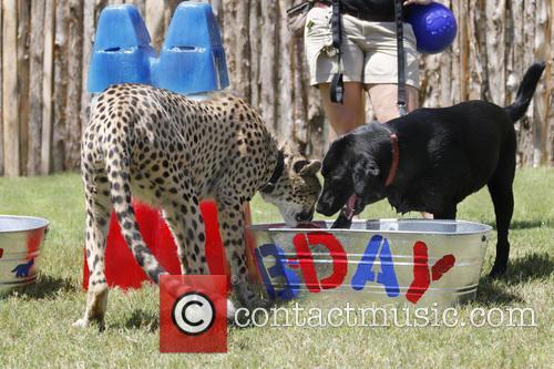 Cheetah and Labrador Joint Birthday Bash 7