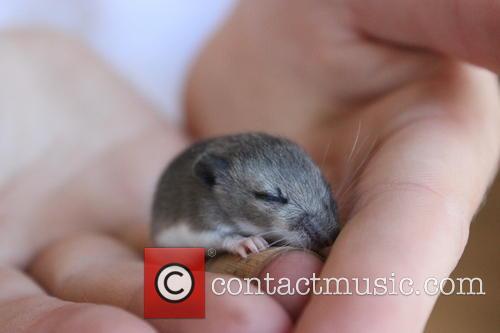 Baby Deer Mice