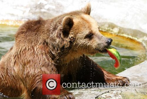 Svoboda the brown bear keeps cool in Bulgaria