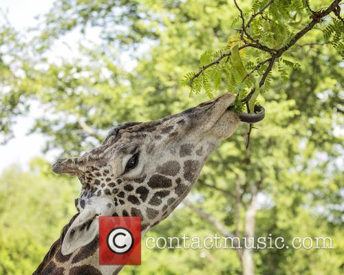 Giraffe Uses Tongue to Reach Leaves