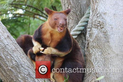 Kangaroo Joey Year One Weigh In